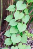 小组新鲜的绿色心形的叶子在热带亚洲 免版税库存图片