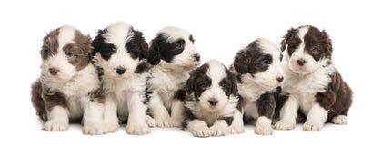 小组有胡子的大牧羊犬小狗, 6个星期年纪,连续坐a 免版税库存图片