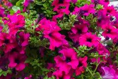 小组桃红色喇叭花花在庭院里 图库摄影