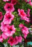 小组桃红色喇叭花花在庭院里 库存图片