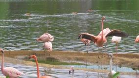 小组桃红色火鸟在水中 股票视频
