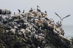 小组棕色鹈鹕--Pelecanus occidentalis--站立在岩石 图库摄影