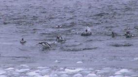 小组横跨往岸的海洋游泳的gentoo企鹅 股票视频