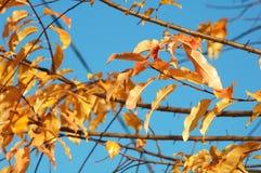 小组樱桃鸟树红色和黄色五颜六色的叶子和在深蓝天背景的光秃的分支  库存照片