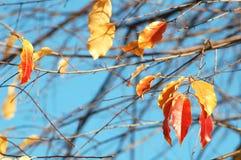 小组樱桃鸟树红色和黄色五颜六色的叶子和在深蓝天背景的光秃的分支  库存图片