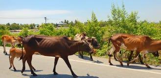 小组母牛在路走 库存图片