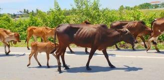 小组母牛在路走 库存照片