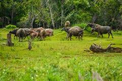 小组水牛walikng和在领域的吃草 免版税图库摄影