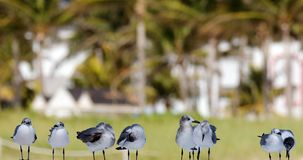 小组海鸥飞行在海洋在南佛罗里达迈阿密海滩 库存照片