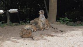 小组滑稽的meerkats或suricate海岛猫鼬类suricatta是属于猫鼬家庭Herpestidae的小carnivoran 影视素材
