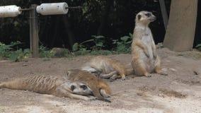 小组滑稽的meerkats或suricate海岛猫鼬类suricatta是属于猫鼬家庭Herpestidae的小carnivoran 股票录像
