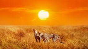 小组猎豹在塞伦盖蒂国家公园 背景波罗的海日落 闹事 免版税库存照片