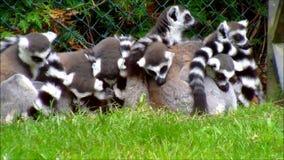 小组环纹尾的狐猴在动物园挤作一团 股票录像