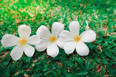 小组白色赤素馨花花羽毛 免版税库存图片