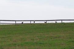 小组白色鹳在小牧场 免版税库存照片