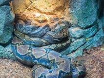 小组皇家Python或者球国王Python的Python 库存照片