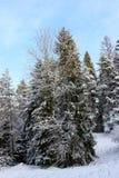 小组积雪的云杉 免版税库存图片
