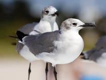 小组笑的鸥海鸥在南佛罗里达迈阿密海滩 免版税库存图片