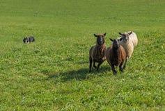小组绵羊有储蓄狗的羊属白羊星座在背景中 库存图片