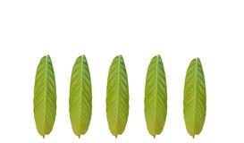 小组绿色在白色背景隔绝的叶子热带叶子 库存例证