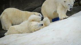 小组美丽的北极熊 影视素材