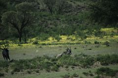 小组羚羊属在纳米比亚 免版税图库摄影