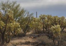 小组西南亚利桑那沙漠拉霍亚跳跃的仙人掌  库存照片