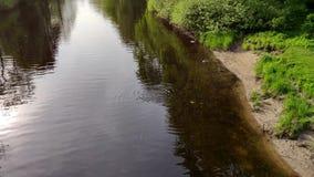 小组野鸭为在河的鱼游泳并且潜水在公园 股票视频