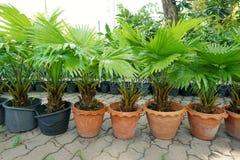 小组锯矮棕榈条树 免版税库存图片