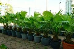 小组锯矮棕榈条树 库存图片