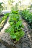小组锯矮棕榈条树 库存照片