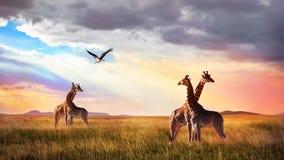 小组长颈鹿和鸟在塞伦盖蒂国家公园 日落Cloudscape 非洲狂放的生活 库存图片