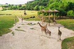小组长颈鹿在公园走 免版税图库摄影