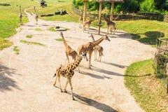 小组长颈鹿在公园走 免版税库存照片