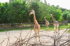 小组长颈鹿在公园走 库存照片