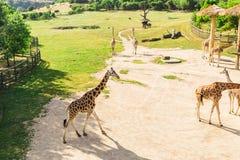 小组长颈鹿在公园走 库存图片