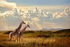 小组长颈鹿在塞伦盖蒂国家公园 背景波罗的海日落 与光的天空在非洲大草原的 免版税库存照片