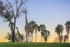 小组长颈鹿在晚上,与在小山后的日落 免版税库存图片