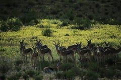 小组飞羚在纳米比亚 免版税图库摄影