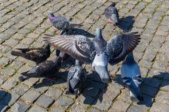 小组飞行鸽子在科鲁Napoca 库存照片