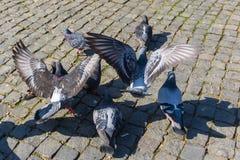 小组飞行鸽子在镇里 库存图片
