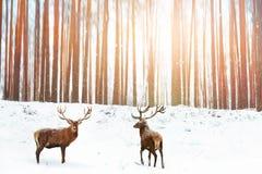 小组高尚的马鹿在冬天神仙的森林下雪的背景中 冬天圣诞节假日图象 免版税库存照片