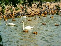 小组鸭子和天鹅,在池塘的鸟在森林背景旁边 免版税库存照片