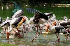 小组鹈鹕抓从湖河的鱼 免版税库存照片