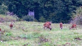 小组Mouflons mouflon羊属orientalis orientalis小组 免版税库存图片