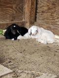 小绵羊休息 库存图片