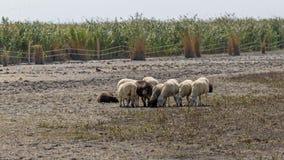 小绵羊在自然保护的奥地利村庄铁锈附近聚集 免版税库存照片