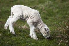 小绵羊羊羔- shaun 免版税库存图片