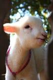 小绵羊 免版税库存照片