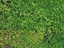 小绿色野生青苔 库存图片